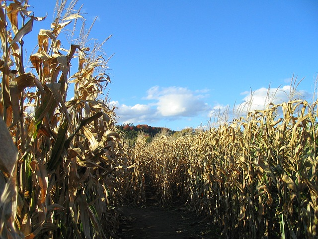 family friendly corn maze